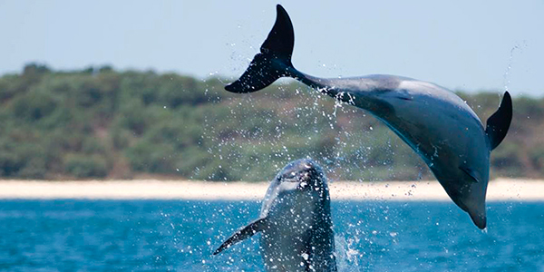 For a really different and unexpected experience, why not Dolphin watching? Head to Setúbal and the estuary of the Sado river, take a catamaran boat to search for the pod of around 30 resident bottlenose dolphins that live here all year long.